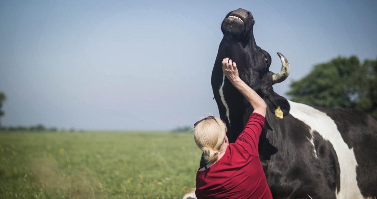 In Butenland werden Kühe gestreichelt
