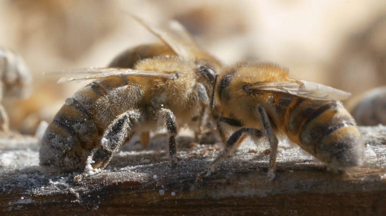 Status von Honigbienen