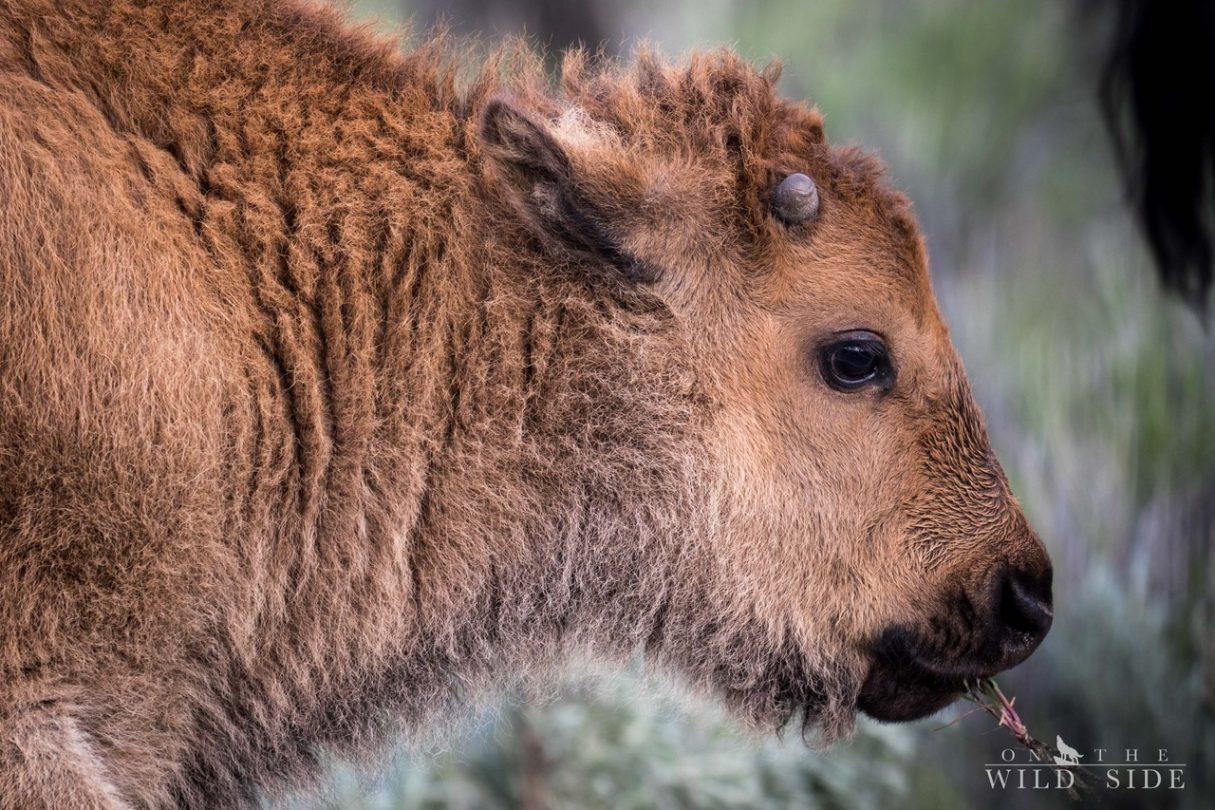 Bisonbaby - On The Wild Side